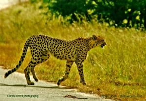 Cheetah on S1Doispane Road KNP